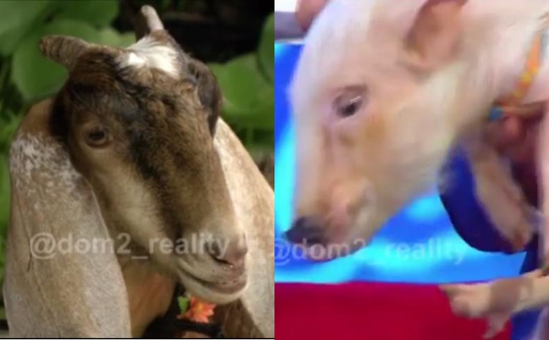 Секс с козой или свиньей